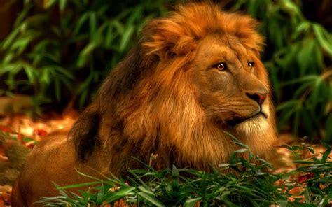 lion hd wallpaper