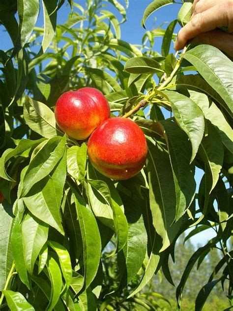 Nectarine Suggestion  Pat Welsh Organic And Southern