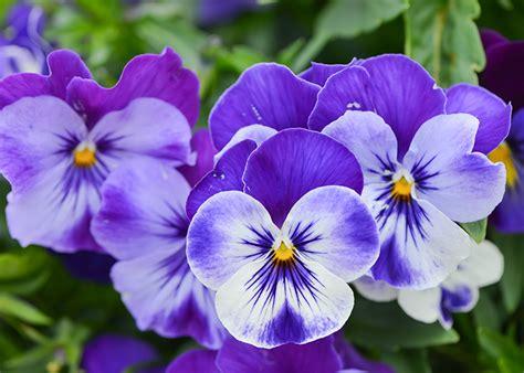 fiori viola significato viola significato simbologia e linguaggio della viola