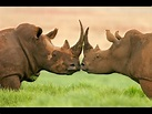 13 Interesting Facts About Rhinos - YouTube