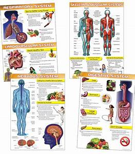 The 25  Best Muscular System For Kids Ideas On Pinterest
