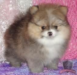 Teacup Pomeranian Puppies Boo