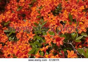 Cluster of bright orange flowers and dark green foliage of