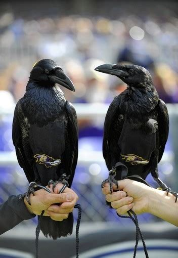 ravens  flying kind   common  harford