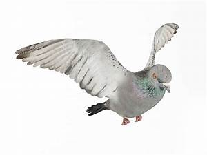 Flying White Pigeon 3D Model - CGTrader.com
