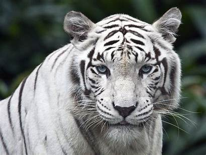 Tiger Female While Wallpapers Resolutions Normal 1600