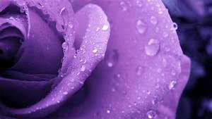 Purple rose and water droplets wallpapers and images ...