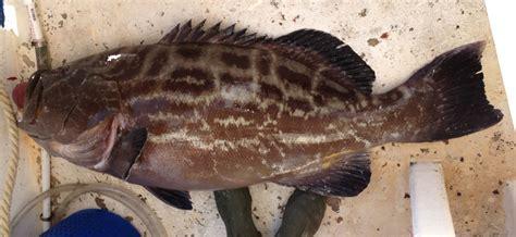 mycteroperca microlepis bonaci grouper ncfishes carolina north