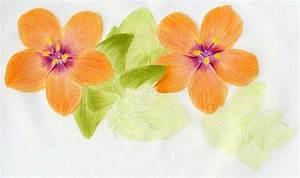 Scarlet Pimpernel Flower Drawing Lesson