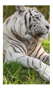 1920x1080 White Tiger 5k Laptop Full HD 1080P HD 4k ...