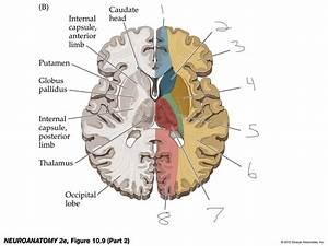Neuro Anatomy Blood Supply