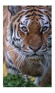 Stare Tiger 4K 5K HD Animals Wallpapers   HD Wallpapers ...
