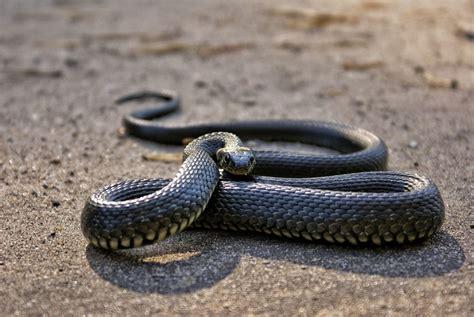 Ko nekādā gadījumā nedrīkst darīt, kad iekodusi čūska ...