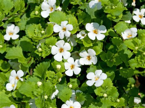 Mit Schneeflockenblume Ein Prachtvolles Bluetenmeer Auf Dem Balkon Schaffen by Pflanzenlexikon Archives Seite 6 8 Balkon