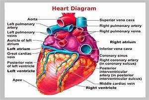 Printable Heart Diagram