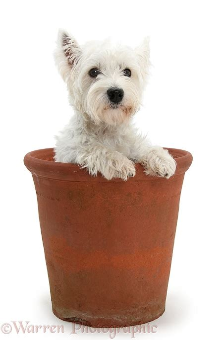 First lady of television is now airing on netflix and traces her long career. Dog: Westie in a large flowerpot photo WP20809