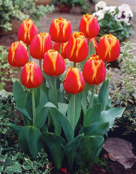 17 best images about tulips new buy on gardens