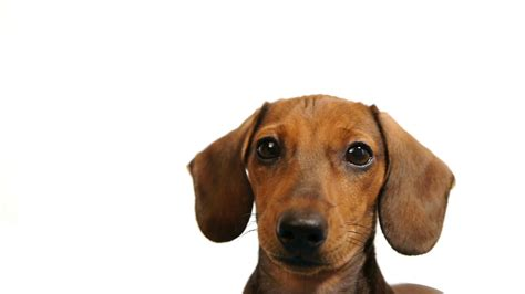 hd dachshund dogs head stock video footage