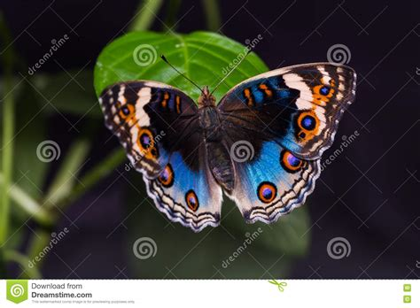 Blue Pansy Butterfly Stock Photo