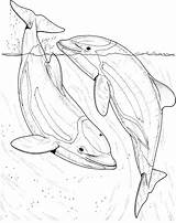 Dolphin Coloring Dolphins Realistic Adult Sea Drawing Printable Ocean Fish Draw River Adults Supercoloring Getdrawings Colouring Whale Stuff Bottlenose Visit sketch template