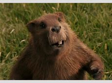 Mr Beaver The Chronicles of Narnia Wiki FANDOM