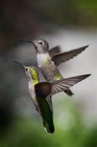 Horse Hummingbird