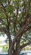 Árvore Santa Barbara Sagrada 100 Sementes P Mudas Plantas ...