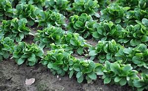 Feldsalat Setzlinge Pflanzen : feldsalat pflanzen pinterest gem sebeet gem segarten und garten ~ Frokenaadalensverden.com Haus und Dekorationen