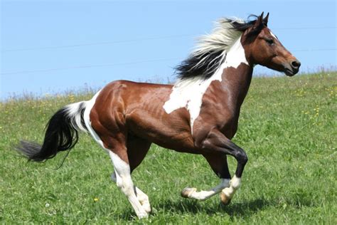 horse paint american foal overo lethal horses syndrome quarter animals