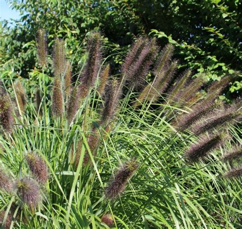 flowering ornamental grass ornamental grass flowering 12 plant collection plants to plant from plantstoplant