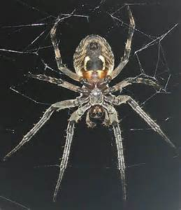 Largest Spider in New Jersey
