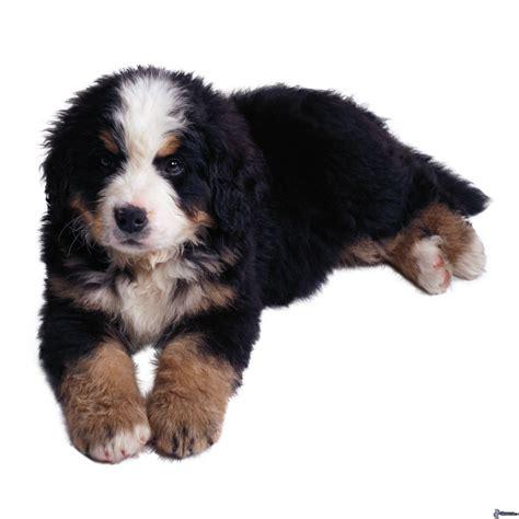 le de poche berner cachorro de perro berner de monta 241 a