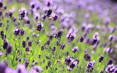 Purple Lilac Wallpapersafari Lavender 1jpg