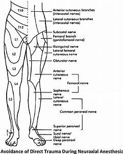 Innervation Of The Lower Extremity    From Haymaker W