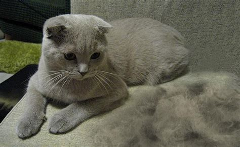 Cat Excessive Shedding by Cat Shedding Tips To Prevent Excessive Cat Shedding Petmoo