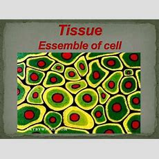 Tissue Assemble Of Cell