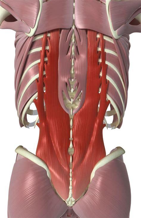 interspinales  intertransversarii  muscles