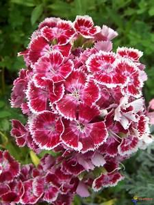 Oeillet De Poete : marguerite fleur et feuilles ~ Melissatoandfro.com Idées de Décoration