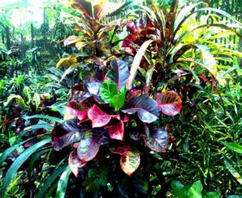 tanaman daun puring 14 manfaat daun puring bagi kesehatan bibitbunga