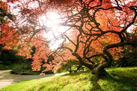 japanese maples living art japanese maples the plant farm