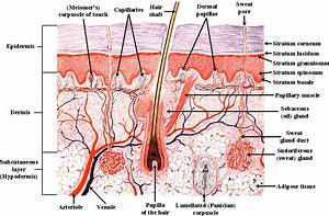 Show Pictures Integumentary System