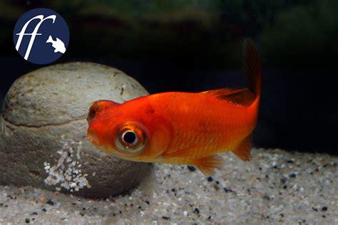 wie groß werden goldfische sind drachenaugen eine qualzucht aqualog de