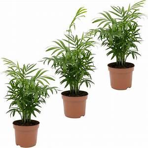 Zimmerpflanzen Auf Rechnung : dominik zimmerpflanze palmen set h he 30 cm 3 pflanzen online kaufen otto ~ Themetempest.com Abrechnung