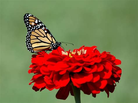 Butterfly Photos Backgrounds With Red Rose