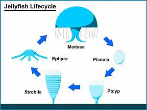 Related Keywords  U0026 Suggestions For Jellyfish Life Cycle