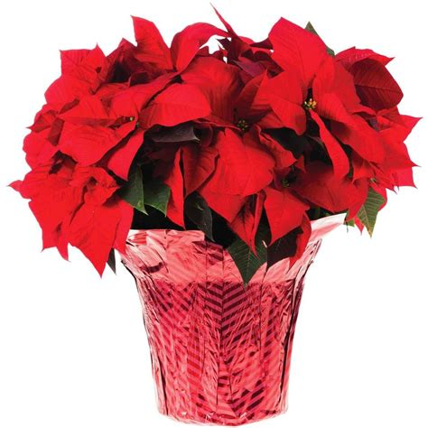 10 in. Live Poinsettia (In-Store Only)-10INP2013 - The