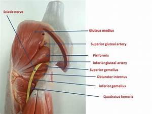 Gluteal Region And Lower Limb  U2013 Fhs122 Anatomy E