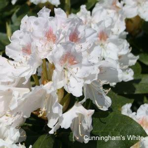 Rhododendron 'Cunningham's White' - Mūžzaļais rododendrs