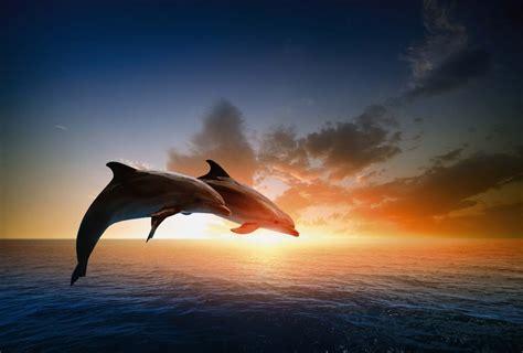 toile pour chambre poster dauphin décoration murale mammifère de l 39 océan