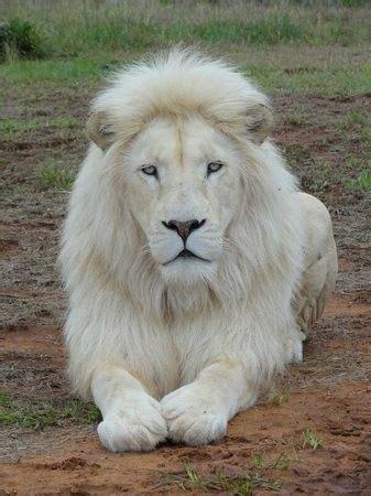 leon blanco animales albinos fotos de animales salvajes